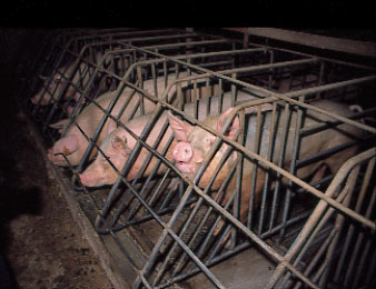 File:Gestationcrates1.jpg