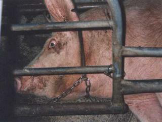 File:Gestationcrates4.jpg